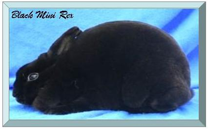 Black Mini Rex