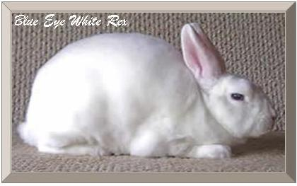 Blue Eye White Mini Rex