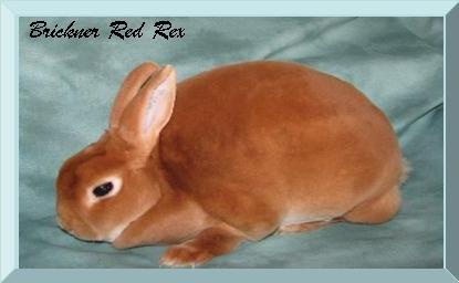 Brickner Red Mini Rex