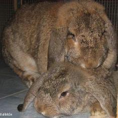 kelinci-kawin