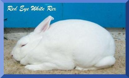 Red Eye White Mini Rex