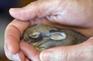 baby-rabbit_small
