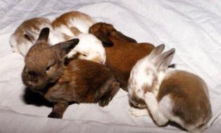 Bayi-bayi kelinci usia 12 hari, perhatikan bahwa mata mereka sudah mulai terbuka dan pola bulu (fur) pun sudah mulai terbentuk